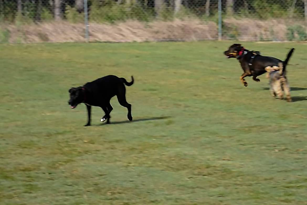 Two dogs run and play in the spacious neighborhood community dog parks at Carolina Colours